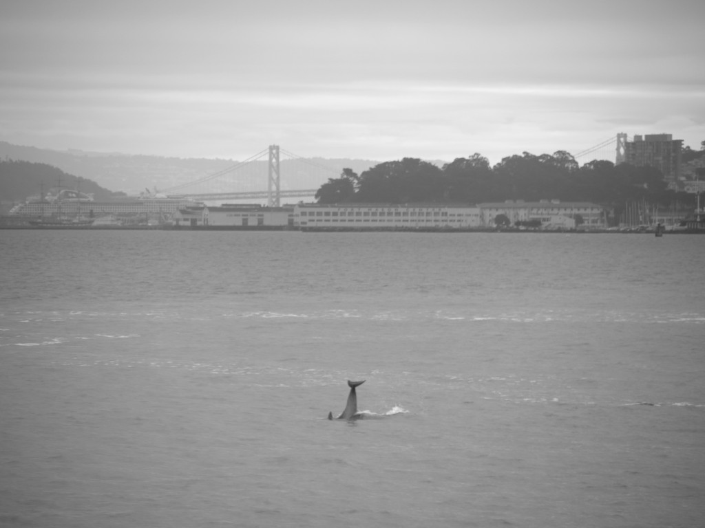 Dolphin in foreground of the Bay Bridge.